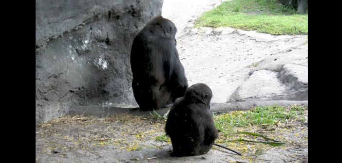 Gorilla trail in Animal Kingdom Disney World
