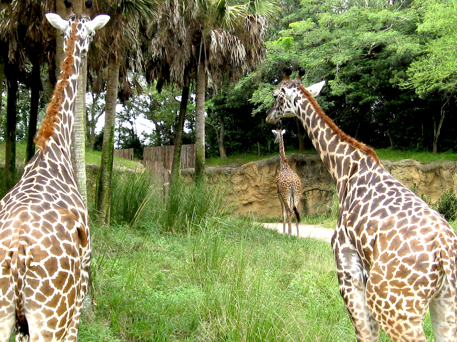 Kilimanjaro Safaris Giraffes in Animal Kingdom